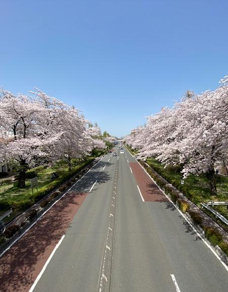 国立市の大学通りの桜です(4月1日撮影)