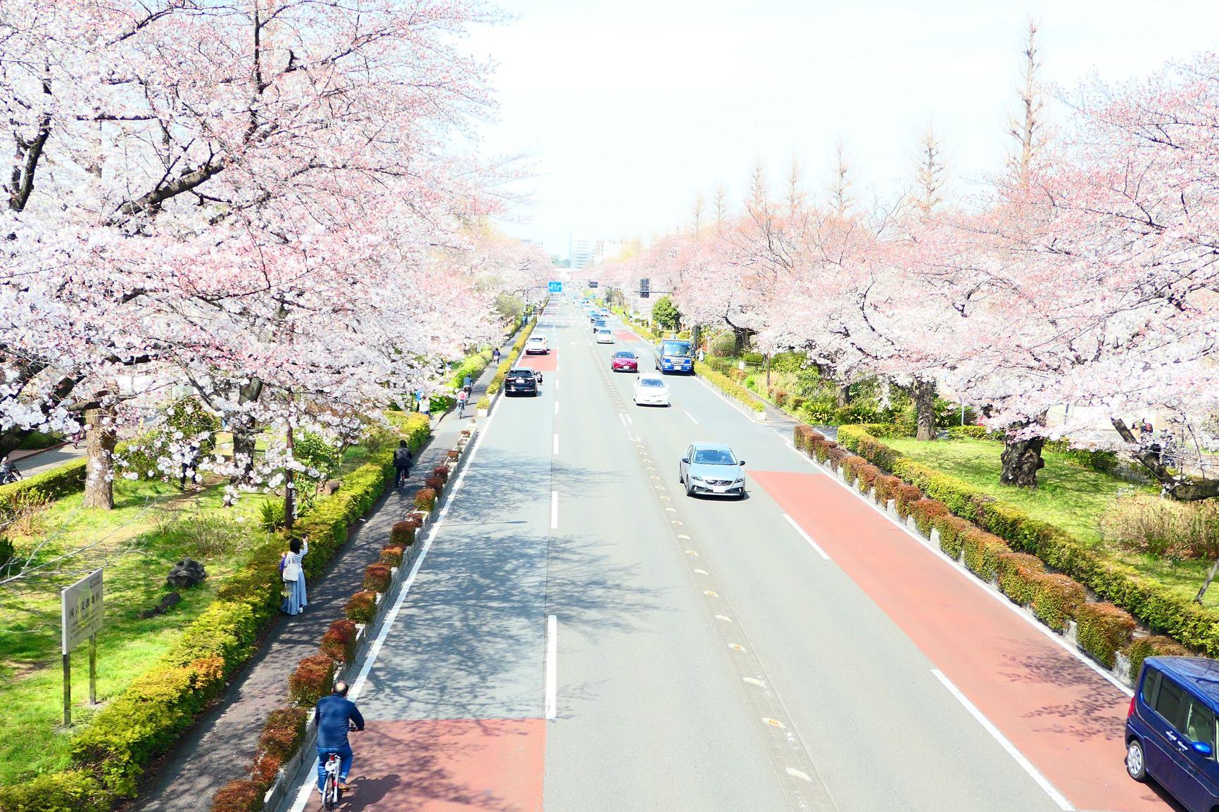 満開の国立の桜